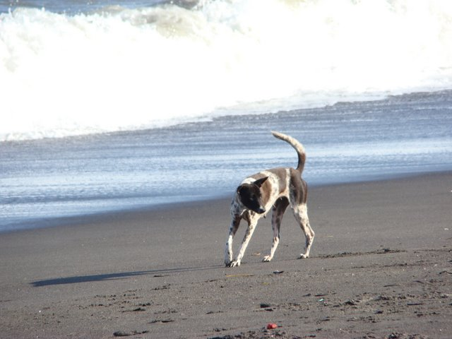 Cachorro na Praia em Bali
