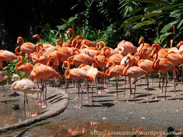 Flamingos Jurong BirdPark
