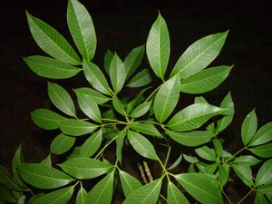 Folhas Seringueira
