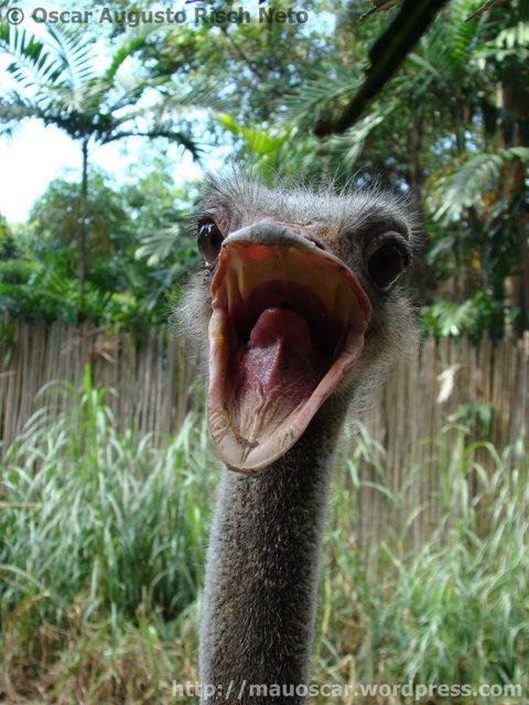 Jurong BirdPark Avestruz boca aberta