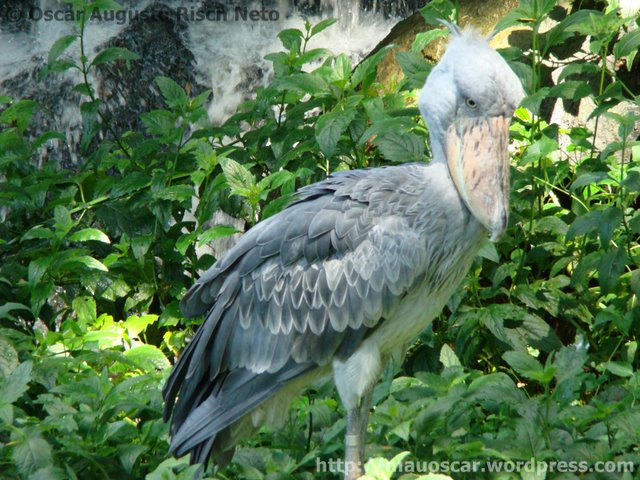Jurong BirdPark  Bico Sapato