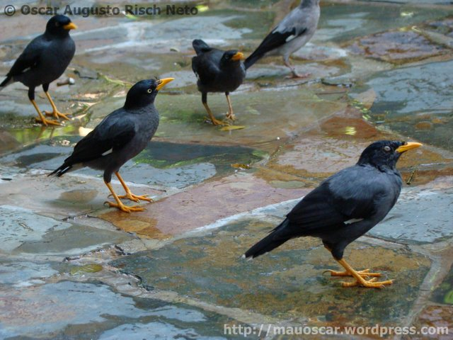 Jurong BirdPark  Myna