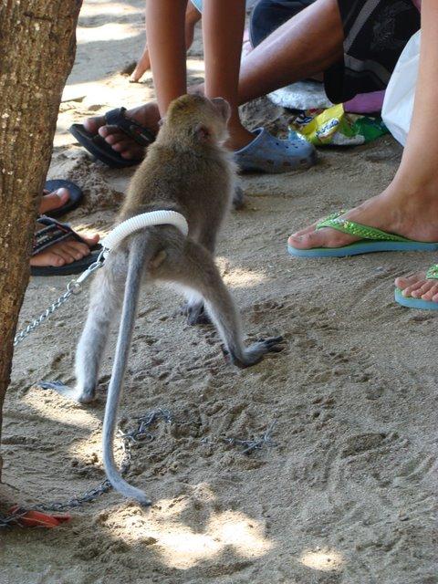 Macaco Kuta