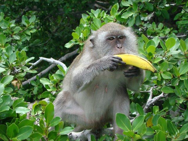 Macacos de Phi Phi