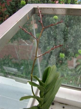 Orquidea Florescendo