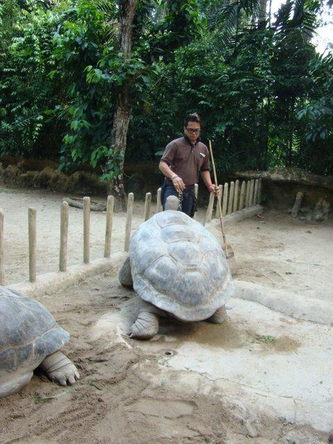Tartaruga Galapagos no Zoo de Singapura