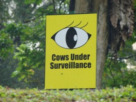 Vaca Sob Vigilancia